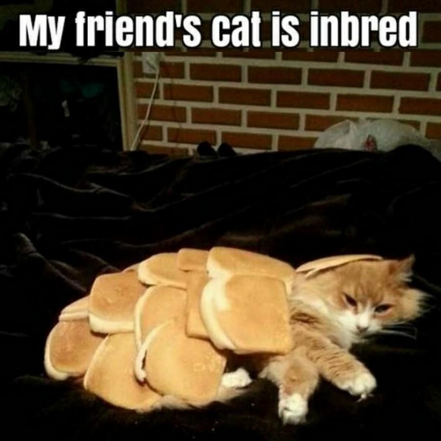 """Poor cat!. . Ml! ' cat is inbred. """"release me human"""" one like is one  amen Breeder inbred puns kittyloaf monday Sad Cat orange cat fluffy"""