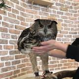 Long Owl